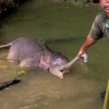 Elefanti Sumatra